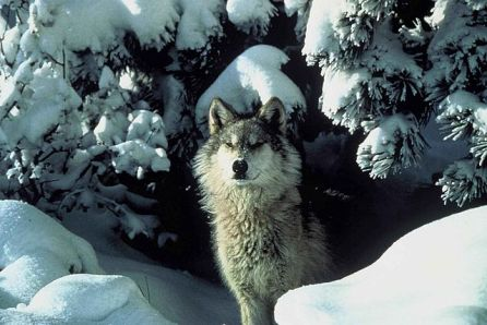 640px-An_endangered_gray_wolf_peers_out_from_a_snow_covered_shelter