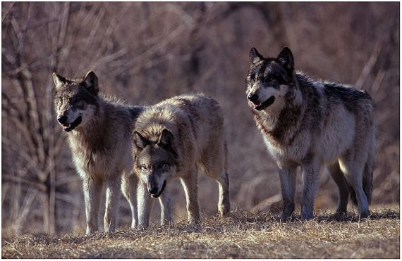 three_wolves_growling