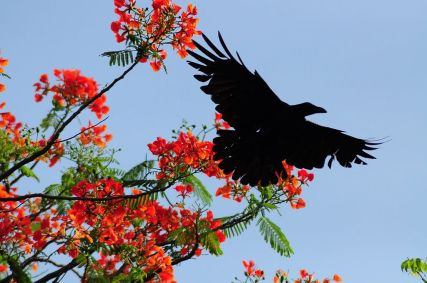 1024px-Indian_Crow_vs