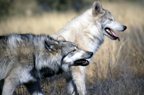 Two_Grey_Wolves_(4394641125)
