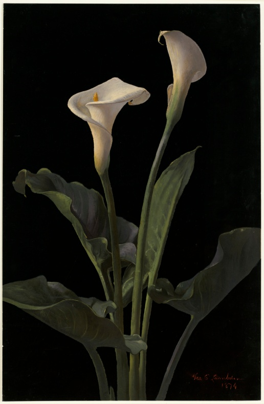 Calla_Lilies_by_Boston_Public_Library