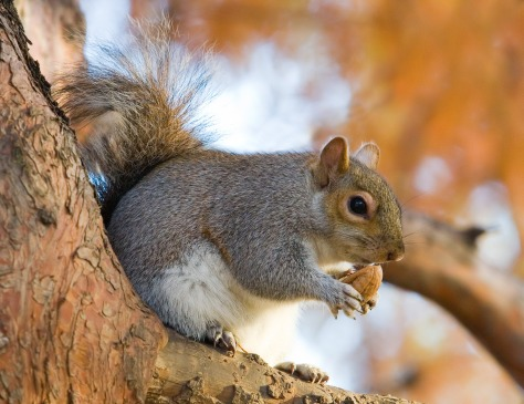 Eastern_Grey_Squirrel_in_St_James's_Park,_London_-_Nov_2006_edit