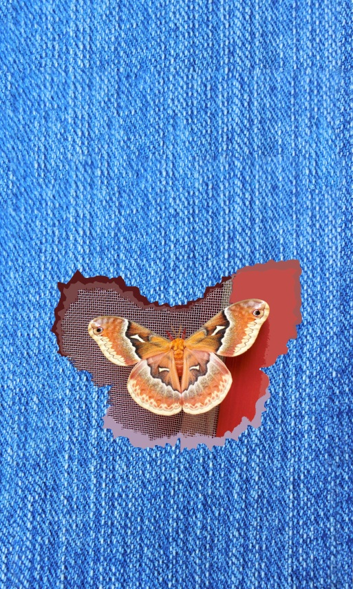 Blue_Denim_Silk_Moth