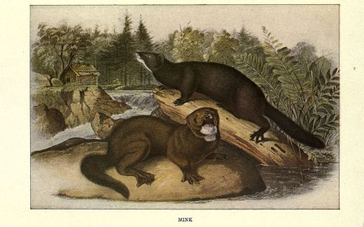 Squirrels_and_other_fur-bearers_(Plate_10)_(6285658363)