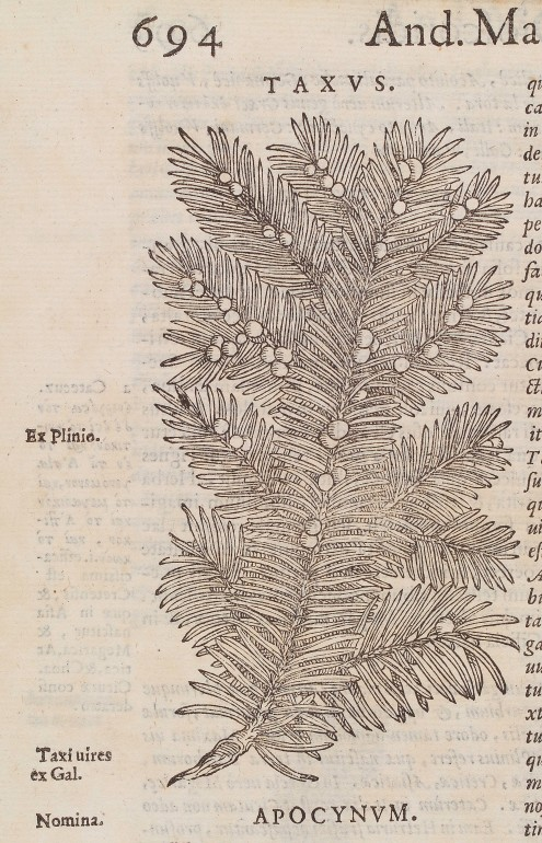 L0040023 Woodcut of a branch from the common yew tree (taxus baccata).