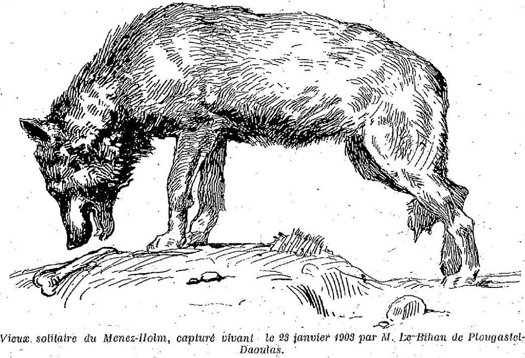Dernier_loup_du_Ménez-Hom