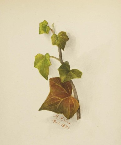 800px-Mary_Vaux_Walcott_-_Untitled_(Ivy)_-_1970.355.776_-_Smithsonian_American_Art_Museum