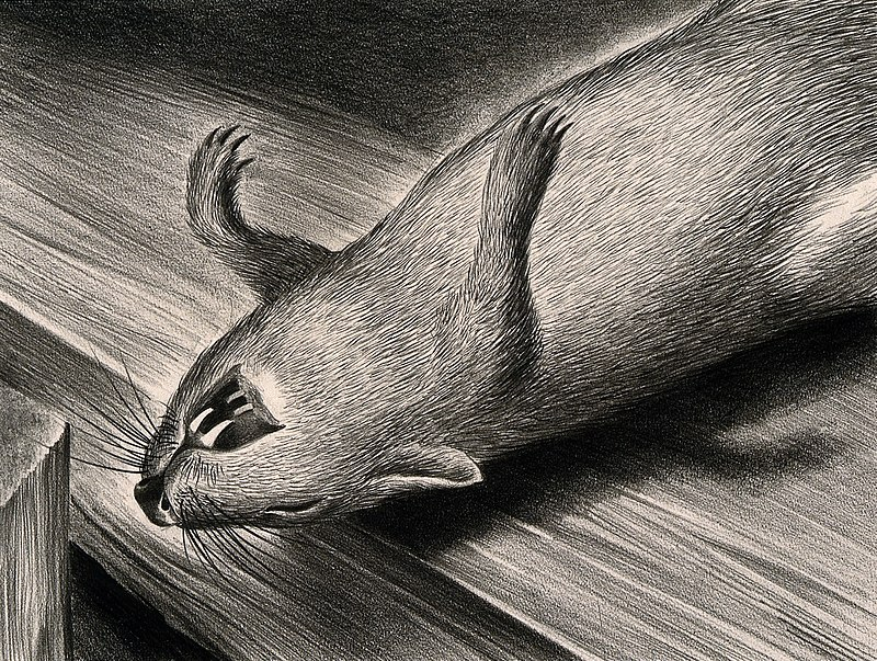 800px-A_dead_plague_infected_rat._Drawing_by_A.L._Tarter,_194-._Wellcome_V0010705