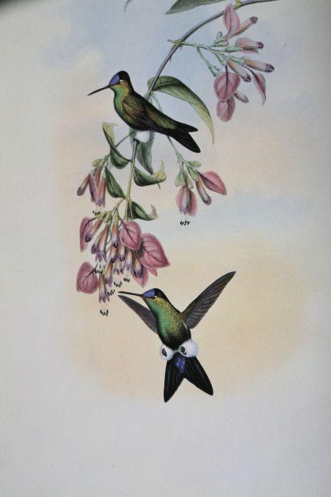 Blaustirn-Höschenkolibri